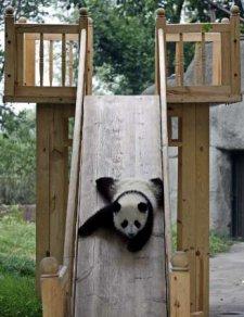 Chengdu-panda-cub-01