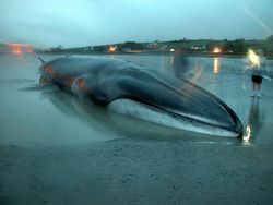 Whale beached by receding tide