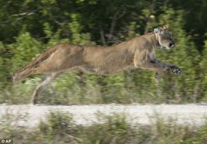 Tagged florida panther