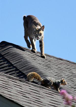 Bobcat stalking squrrile