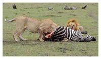 Lions eat zebra