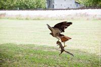 Squirrel taken by hawk decatur ga