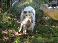 Cat-caught-rabbit_4682