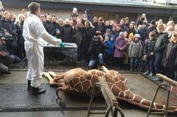 Marius-the-giraffe-who-was-killed-by-Copenhagen-Zoo-from-the-guardian