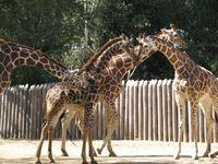 Giraffe-photo-01