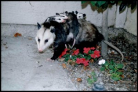 Opossum-and-babies-300x200