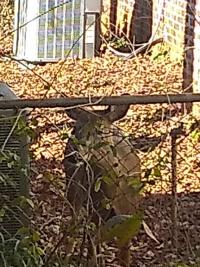Deer in side yard
