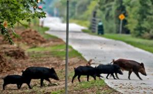 Feral pigs dallas