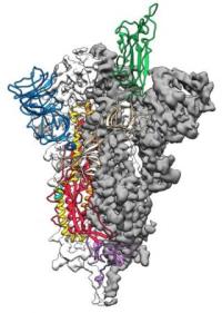 Coronavirus with spike